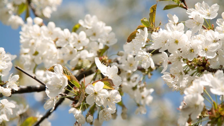 Kirsiõites Jaapan