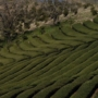 Uji, rohelise tee sünnihäll